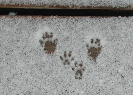 Chipmunk tracks