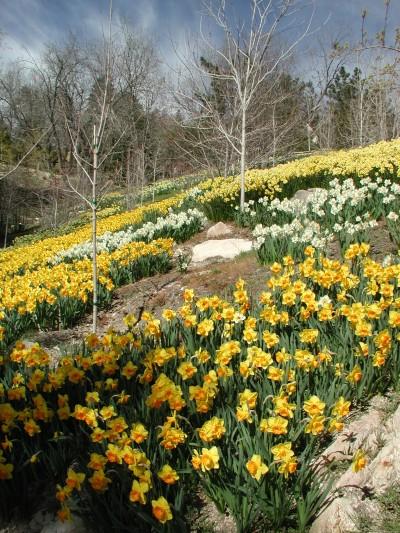 Bauer Daffodil Garden