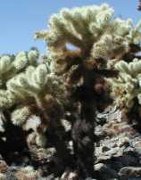 Cholla growth