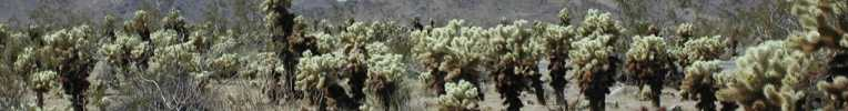 Cholla cactus view