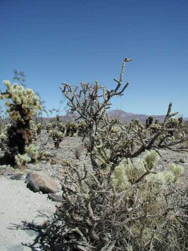 Pencil Cholla